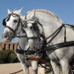 foto carrozza con cavalli per matrimonio